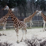 rodinka žiraf byla ve výběhu