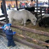 Poník a kozy na staromáku