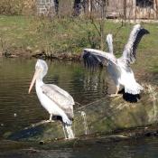 Pelikáni si vyhřívají peří