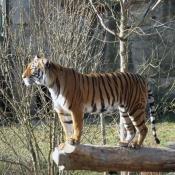 tygr pozoruje dění